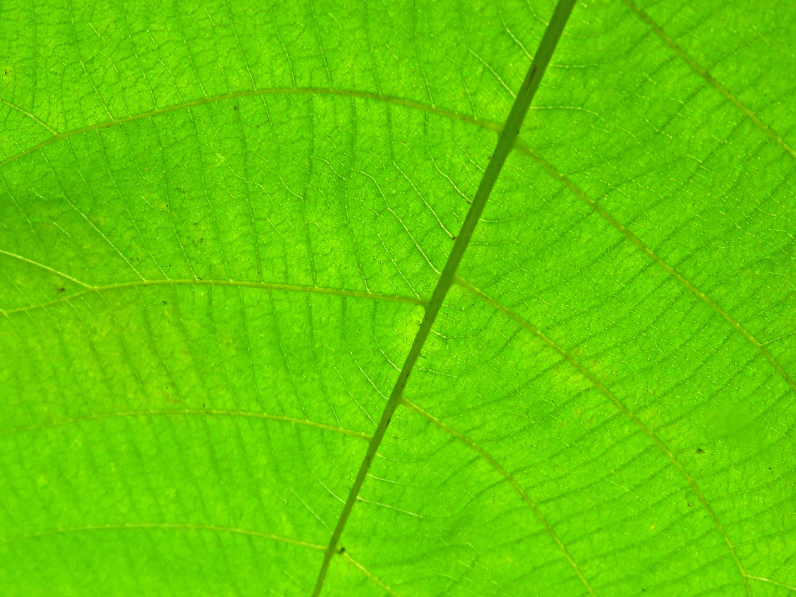 Chlorophyll in green leaves nutrition with Evie Whitehead